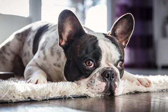 Depositphotos_french-bulldog-lying-down
