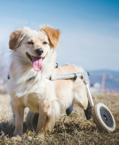 How-To-Put-A-Paralyzed-Dog-Into-A-Dog-Wheelchair-1-512x1024-1