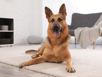 German shepherd on floor in living room