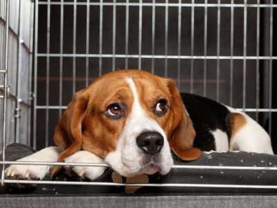 Beagle dog on crate rest