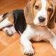 Beagles puppies are prone to Beagle Pain Syndrome