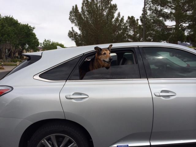 German shepherd dog taking a road trip.