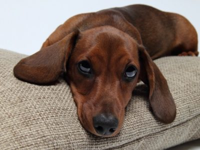 Dacshund-looking[1]