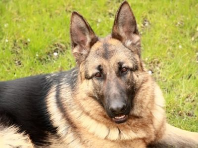 German shepherds are prone to Degenerative Myelopathy