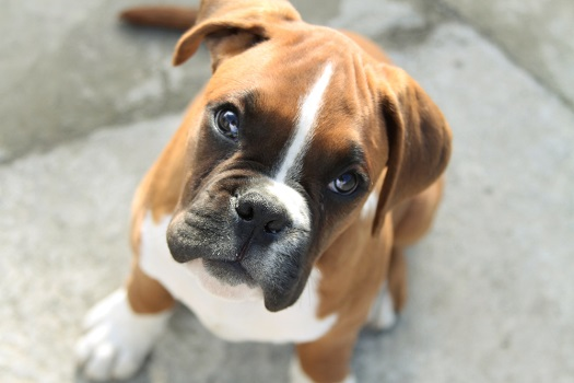 Boxer dogs are prone to Degenerative Myelopathy