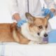 cute redhead scared puppy dog Corgi lies on the table at the vet