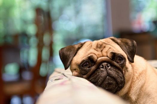Pugs are prone to Intervertebral Disc Disease (IVDD)