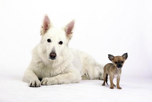 Two dog breeds prone to Intervertebral Disc Disease (IVDD)