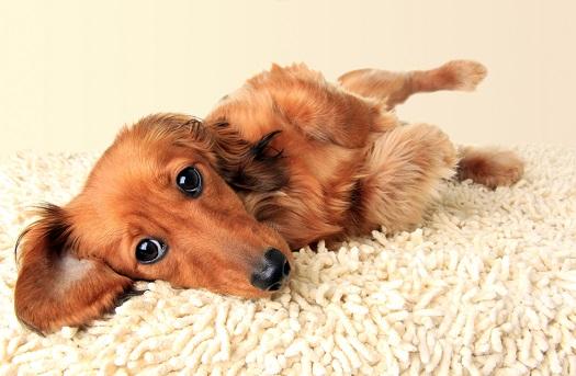 Longhair dachshund with IVDD