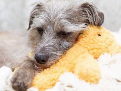 Tired Little Dog Resting on Stuffed Bear