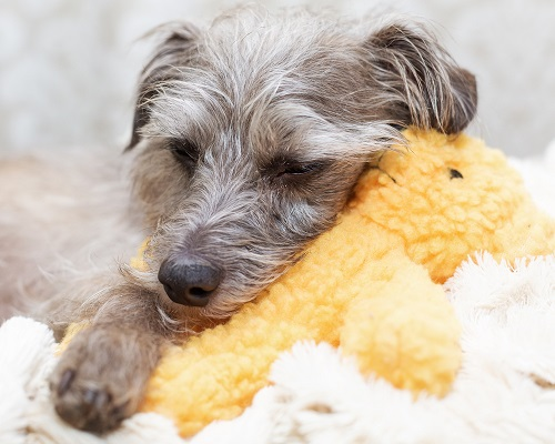 Incontinent dogs are prone to urinary tract infections