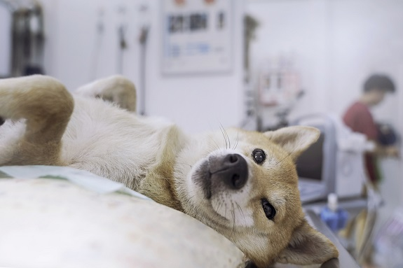 Veterinary concept. The Shiba Inu dog is waiting for the doctor