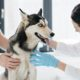 Dog being treated by veterinary chiropractor