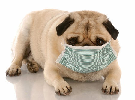 Dog with mask heading for a vet exam