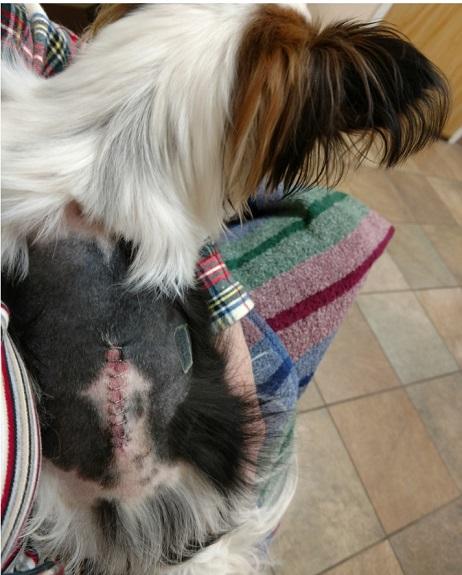 Dog after spine surgery for IVDD