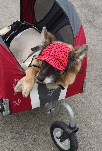 German shepherd dog using a stroller on a road trip.