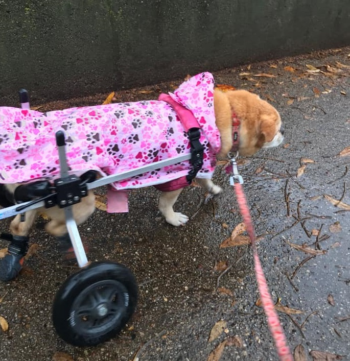 Berta, a paralyzed dog in her wheelchair needs an dog indoor bathroom.