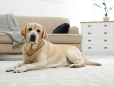 Labrador retriever enrolled study for dogs with back pain