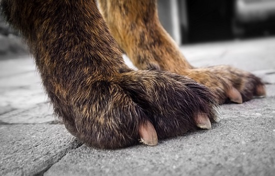 Dog nails are too long when they hit the ground when a dog stands.
