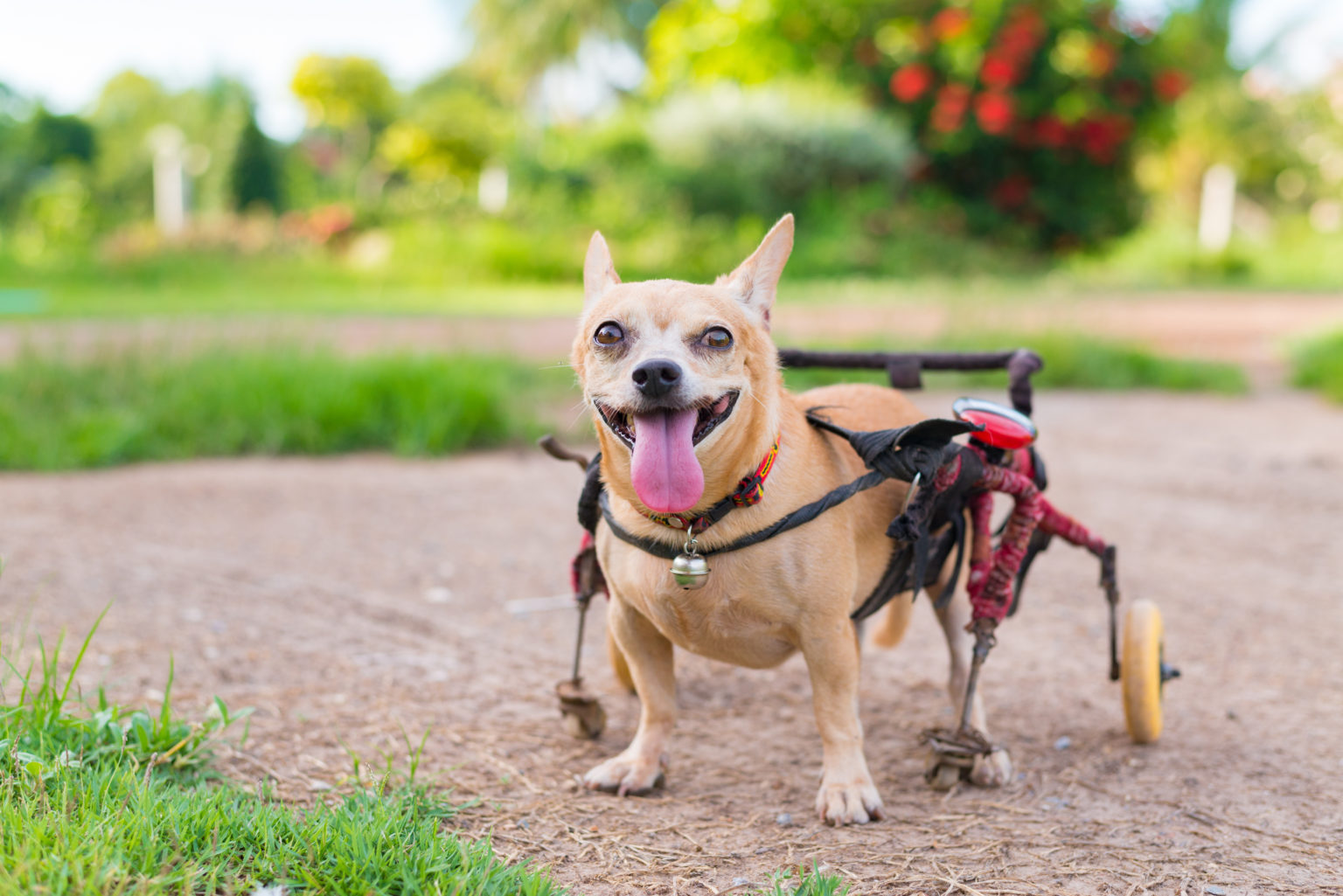 Happy,Cute,Little,Dog,In,Wheelchair,Or,Cart,Walking,In