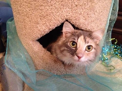 Cat with cerebellar hypoplasia