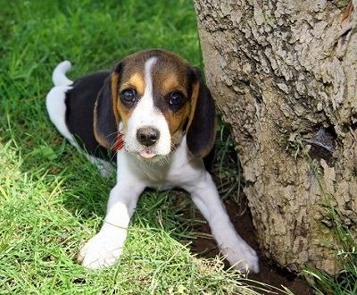 Beagle puppy waiting for owners