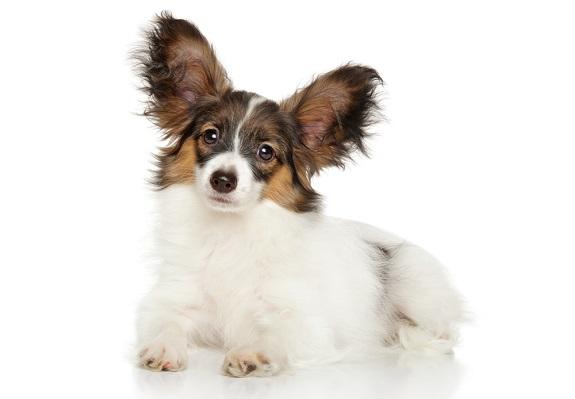 Papillon dogs are prone to Syringomyelia