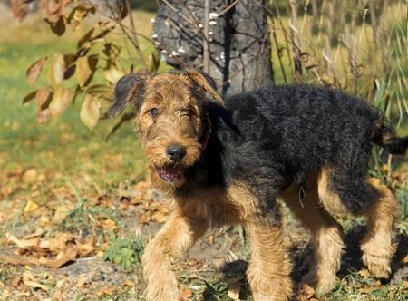 Airedale puppies are prone to Cerebellar Hypoplasia