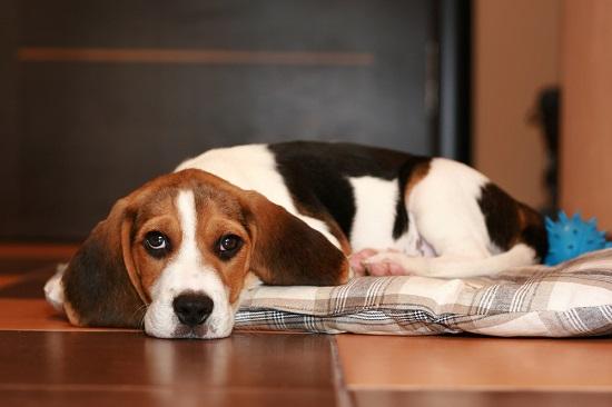 Sad beagle puppy with urine scald
