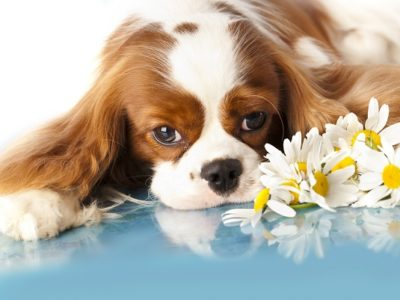 Cavalier King Charles Spaniels are prone to Syringomyelia