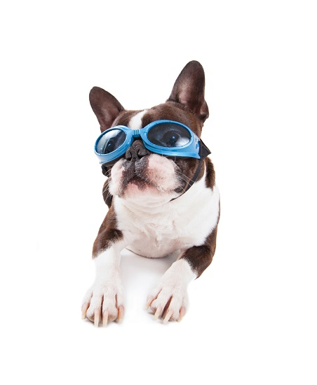 Dogs wearing goggles for laser therapy
