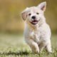 Golden retriever puppy running