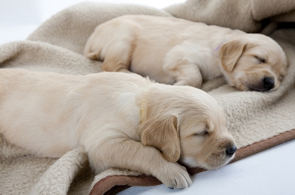 Puppies sleeping on dog blanket