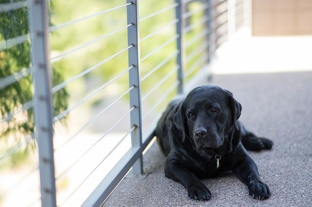 Labrador retriever waiting by a window