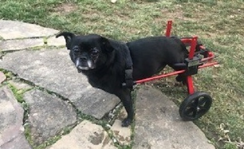 Penny in her dog wheelchair