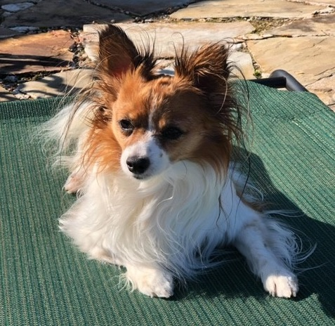 Papillon dog uses Assisi Loop to treat pain