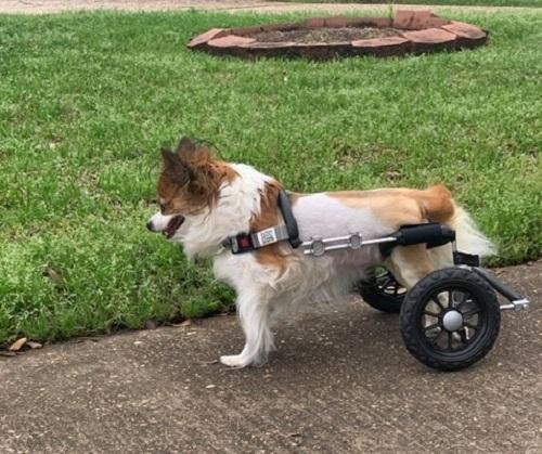 Papillon dog in wheelchair