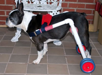 Quincy the dog in a Dogs To Go Wheelchair