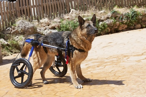 German shepherd dog in a wheelchair for pets