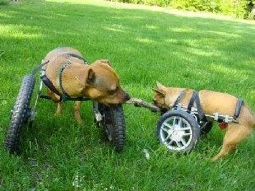 Front support dog wheelchair from Eddie's Wheels