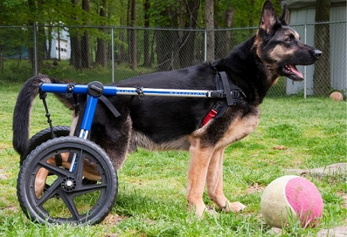 Dog in wheelchair for pets