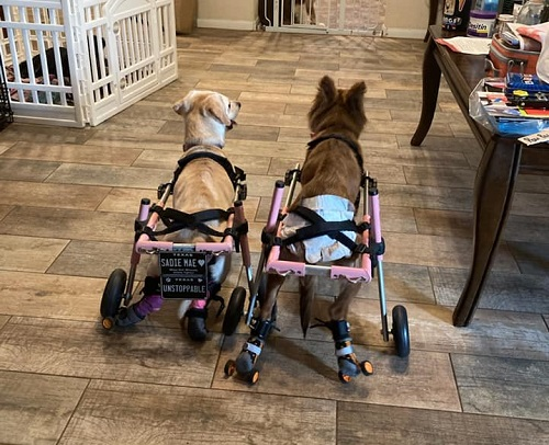 Two dogs in wheelchairs.