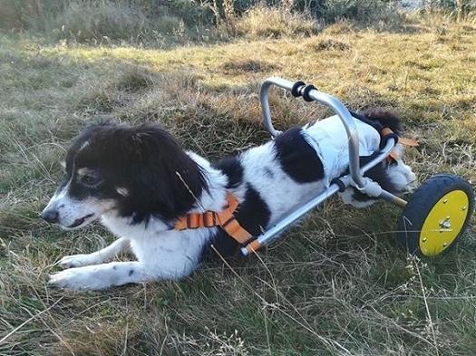 Modullo Dog wheelchair