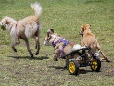 Dog in wheelchair running.