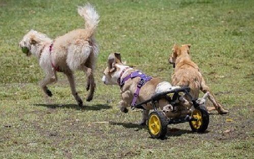 Dog in wheelchair running.