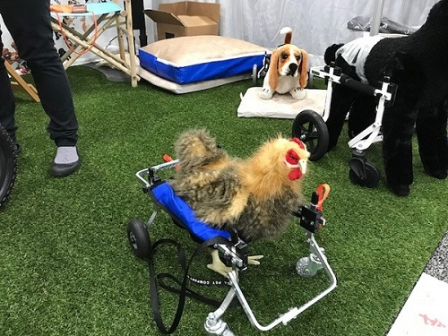 Chicken in a dog wheelchair