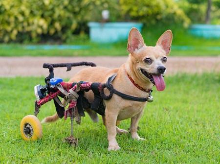 Chihuahua dog in dog wheelchair
