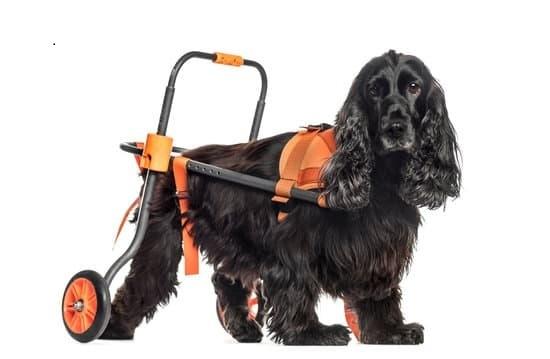 Cocker spaniel dog in a dog wheelchair