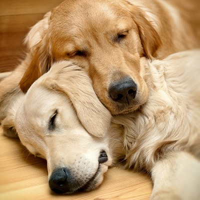 Spinal cord tumors in dogs occurs in large breeds like Golden retrievers