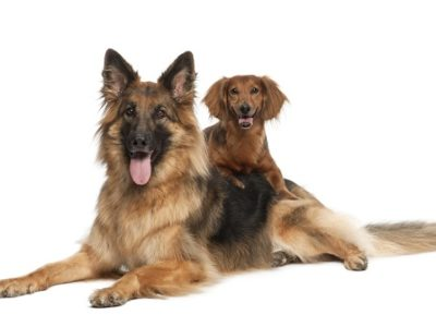 German shepherd dog and Dachshund